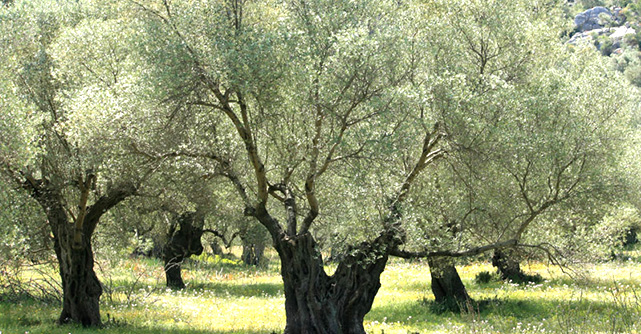 vùng nguyên liệu Olive - Spain